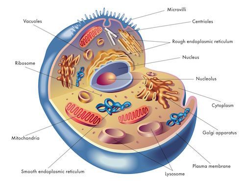 Mitochondria_l